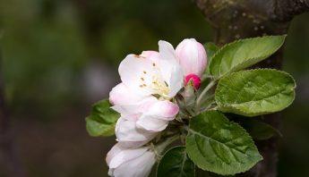apple-tree-blossom-1468709__340