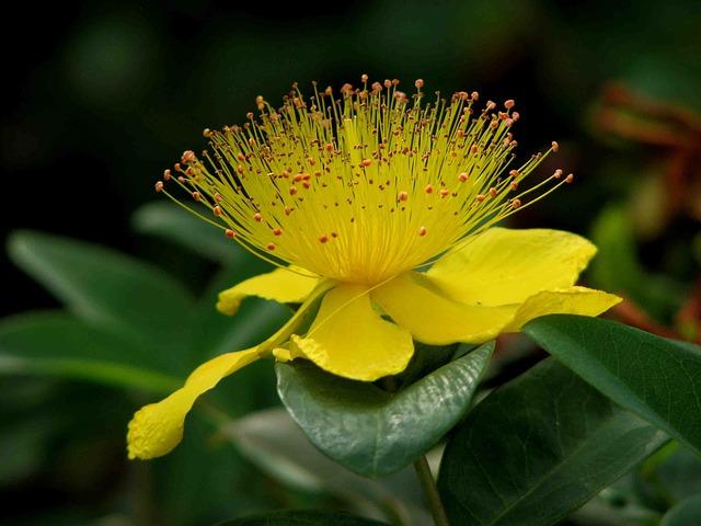 Le millepertuis fleur de bach